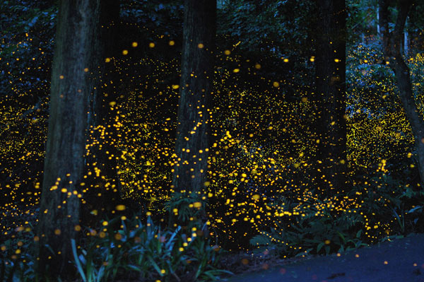 gatlinburg-fireflies